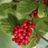 Schizandra Berry
