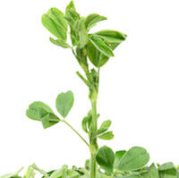 Alfalfa Grass Juice