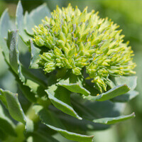 Rhodiola Rosea Root Powder